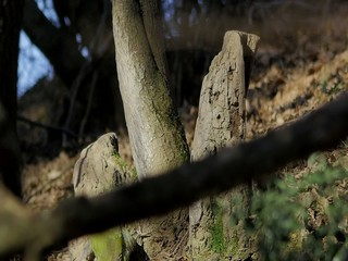 Picus viridis, green woodpecker, picchio verde