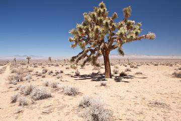 USA - nevada desert - Joshua Tree