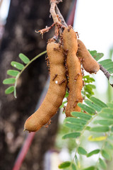 Tamarind tree and ants live.