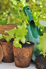 semis salade dans pots biodegradables
