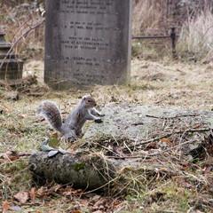 grauhörnchen auf dem friedhof