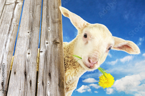 Deurstickers Schapen Lamb with grass and blossom