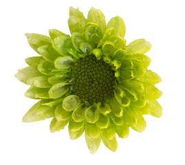 chrysanthemum flower green color isolated on white