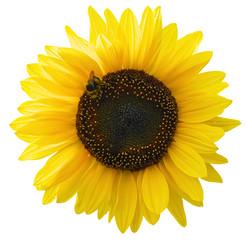 Leuchtende Sonnenblume mit Biene und als Freisteller