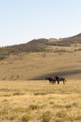 Herd of horses grazing in the steppe.