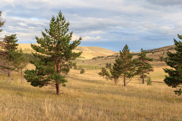 Pine trees in the steppe.