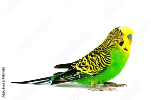Foto op Canvas Papegaai Budgerigar isolated on white background