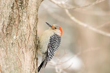 Female Red-bellied wodpecker