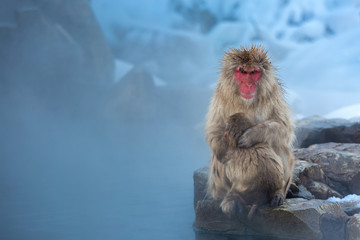 now monkey Macaque Onsen