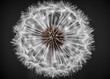 Dandelion head closeup