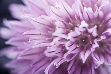 Chives flower
