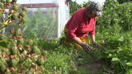 granny weed strawberry in garden. Focus change of blackberry