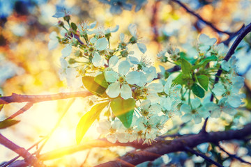 floral view bloosom of cherry tree on background sunrise