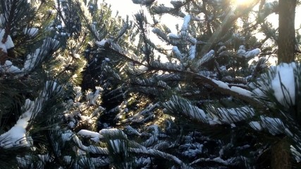 winter trees with snow - sunbeam - closeup