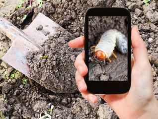 man taking photo of larva of cockchafer in garden