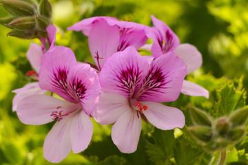 Geranium flowers.Pink bicolor geraniums in the home garden.