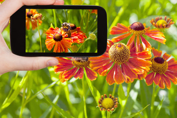 tourist taking photo of honey bee in summer