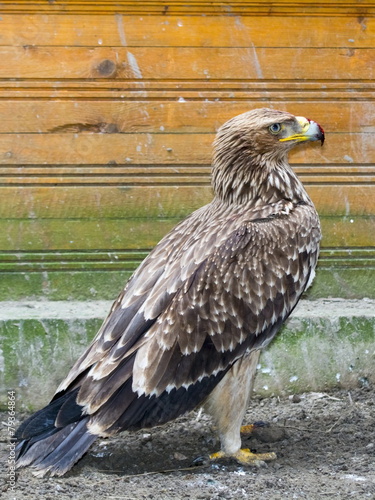 Foto op Canvas Eagle Eastern imperial eagle (Aquila heliaca)