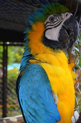 Exotic Yellow and blue macaw in bird zoo in Colombia
