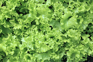Backgrounds of of growing a vegetable lettuce