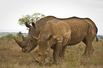 two wild white rhinoceros standing in the bush, Kruger