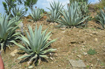 big aloe bush in latin america Andes mountains