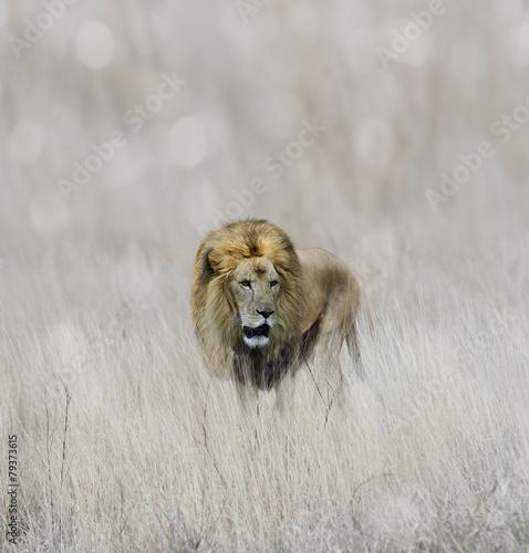 Lion - 79373615