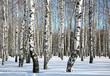 Sunny winter birch grove