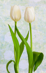 White tulips with vintage textured styling