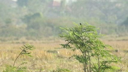 bird is resting on the mimosa tree in the dry paddy field