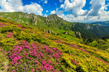 Stunning pink rhododendron flowers in the mountains,Romania