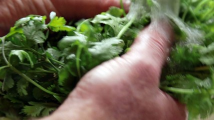 Hand washing fresh cilantro under tap water from kitchen sink