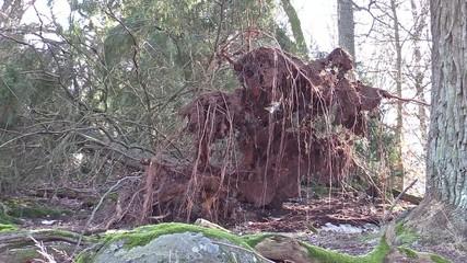 Windthrown tree