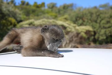 Junger Pavian (Papio ursinus) auf Autodach. Südafrika