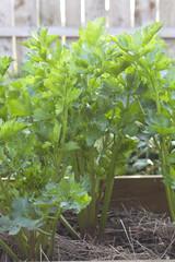 celery in the garden (organic farming)