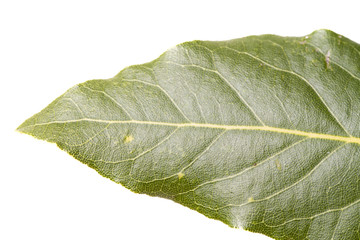 Close view of a leaf of sweet bay laurel.