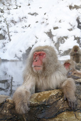 Snow monkey in onsen at the jigokudani monkey park