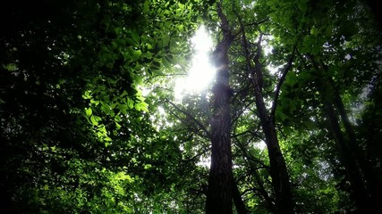 Green leafy trees in forest looking up to the sky