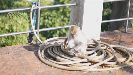 Cute monkey walk and play on rubber tube,Thailand