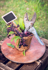 Elder berry branch with garden shears and sign in garden