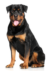 Rottweiler in front of white background