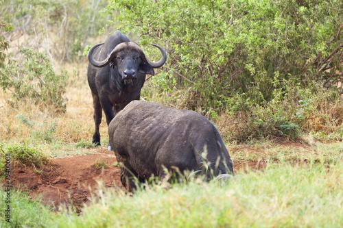 Tuinposter Buffel Cape Buffalos at Water Hole