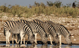 Group of Zebras drinking at the waterhole, Etosha, Namibia