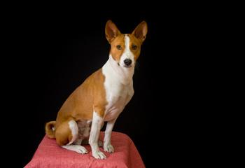 Studio portrait of elegant Basenji dog