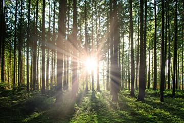 Sonne im Wald
