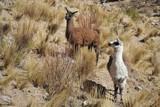 Lamas. Altiplano