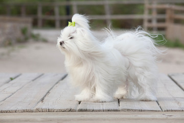 pet maltese dog