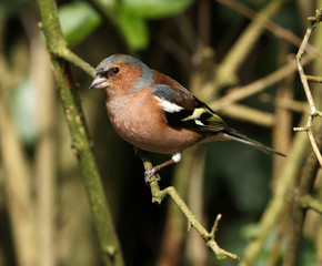Portrait of a male Chaffinch