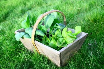 panier de plants de salades et choux,au jardin