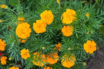 """цветы желтые бархатцы """"Мандарин"""""""